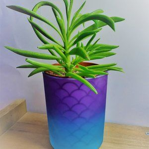 Other - Succulent in Glass Purple & Blue Pot, Peperomia